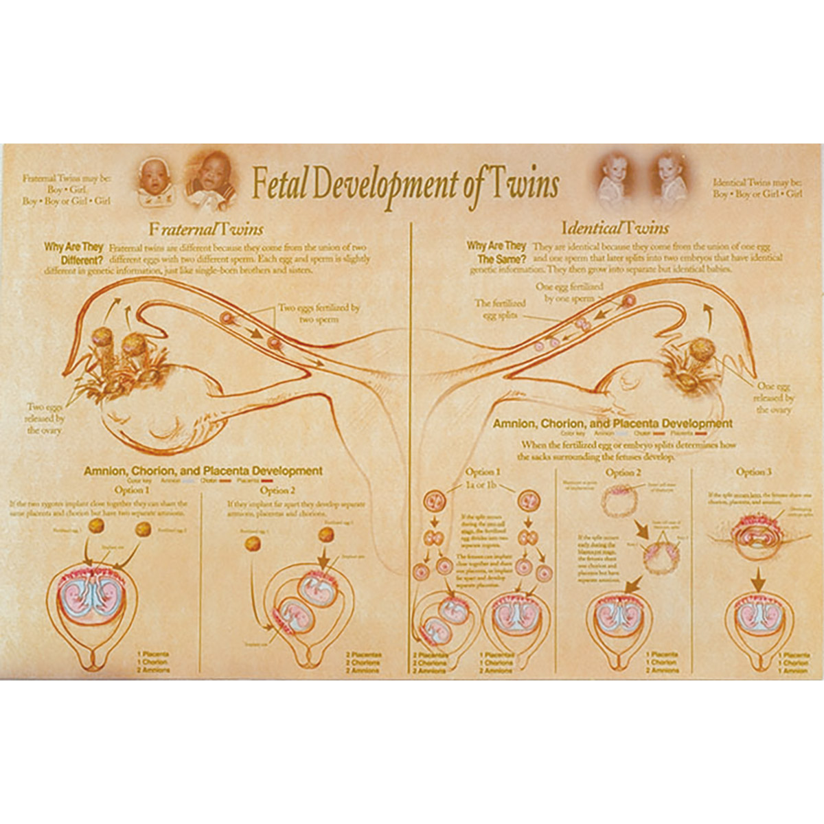 Fetal Development & Presentation of Twins Chart - 90643 ...